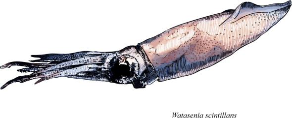 Watasenia scintillans